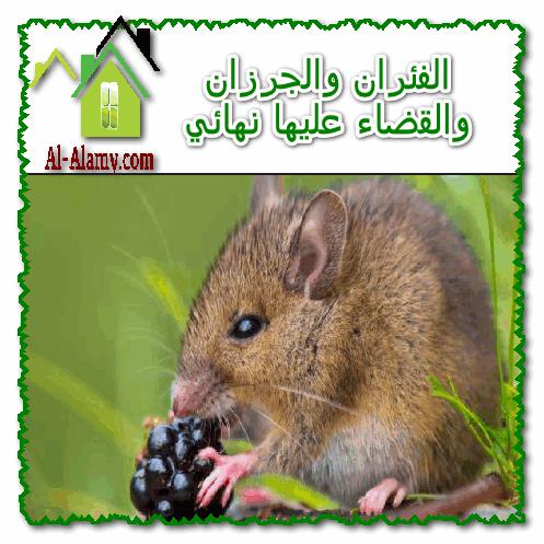الفئران والجرزان والقضاء عليها نهائي